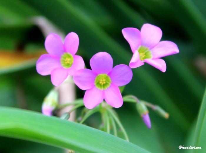 pink or magenta flower-01